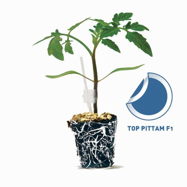Top Pittam